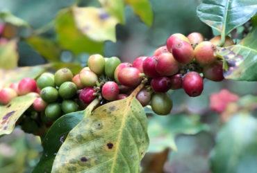 lanna-foundation-Coffee-Tree
