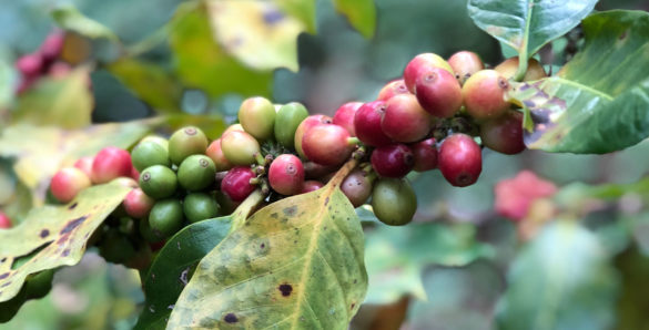 lanna-foundation-Coffee-Tree